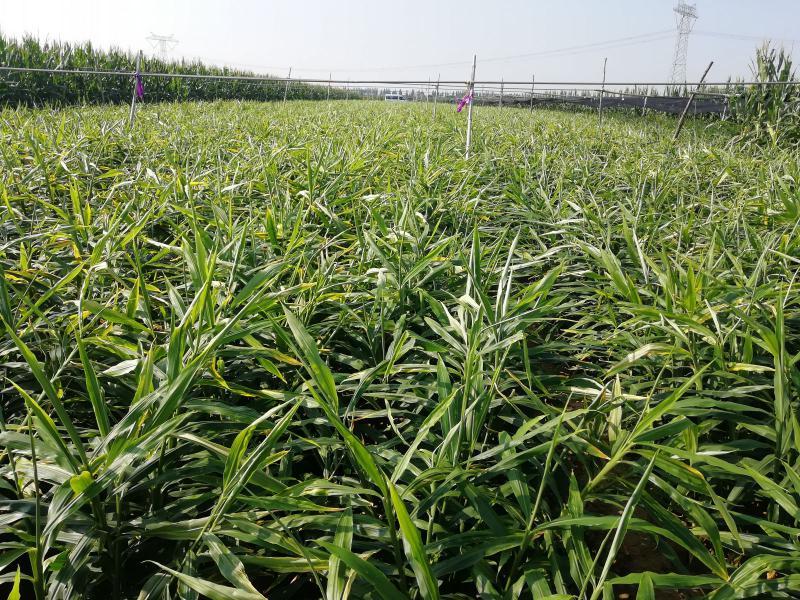 用高质量肥料,种高质量大姜,